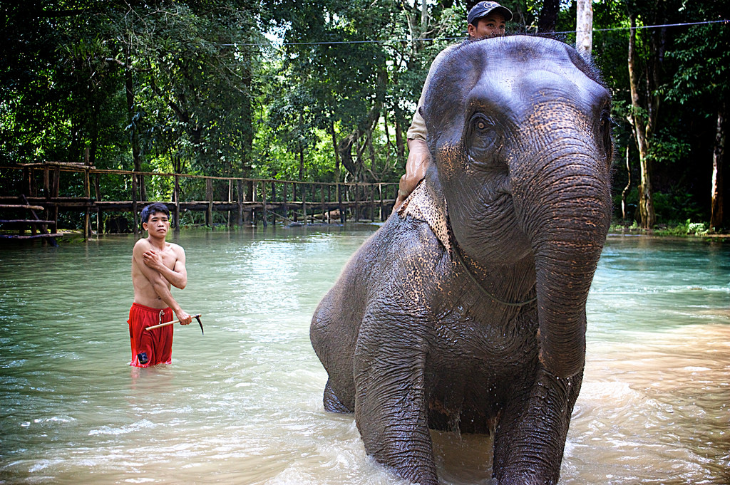 Every evening, Mahouts take their elephants to the nearest river. The elephants enjoy their bath while the Mahouts clean them up